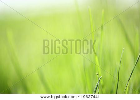 Light spring green grass background. Shallow focus depth on front blades of grass