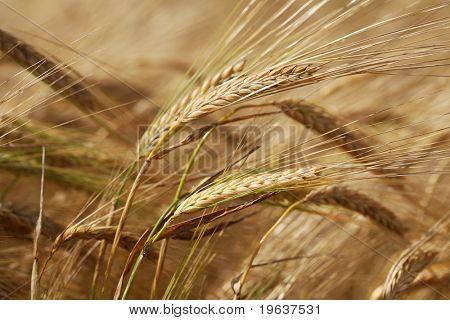 Closeup of corn in the ear