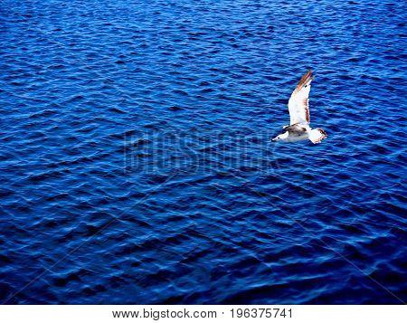 Seagull in flight over Lake Michigan in Muskegon