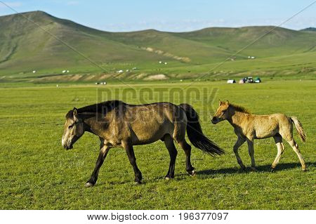 Mare with colt on a pasture inOrkhon Valley Cultural Landscape Mongolia