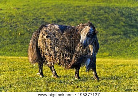 Mongolian Yak (Bos mutus) Orkhon Valley Mongolia