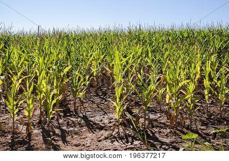 Cornfields in the plain of the River Esla, in Leon Province, Spain