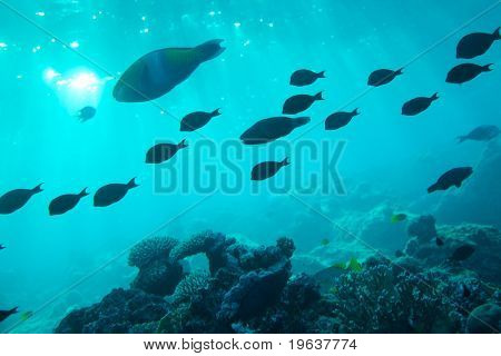 Shoal of fishes migrate in sea - blue water - Underwater shot. Red Sea, Sinai.
