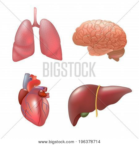 Realistic human organs set. Set of human anatomy parts liver, heart, lung, brain, Vector illustration