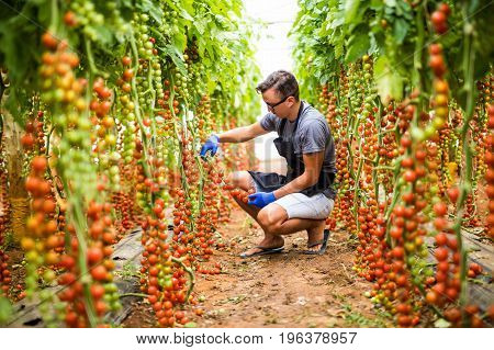 Young Man Farmer Collects Cherry Tomatoes In The Greenhouse Tomatoes In The Greenhouse Vegetable Bac