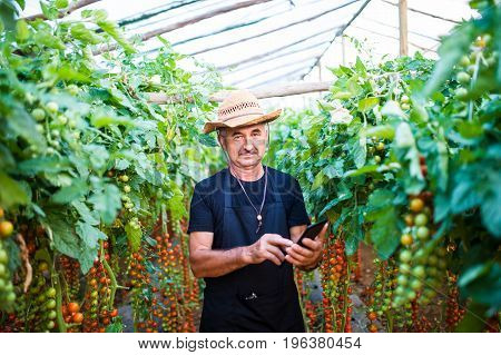 Farmer In Greenhouse Checking Orders From Costumers For Tomato Plants Inside His Greenhouse