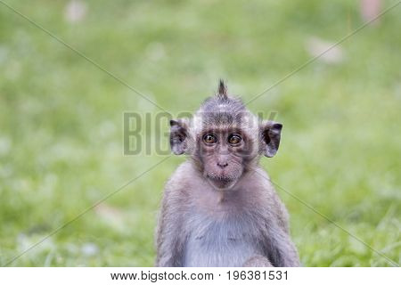 Portrait of young monkey squinting his eyes Thailand