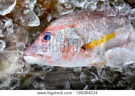 Red Snapper Fish From Fishery Market.