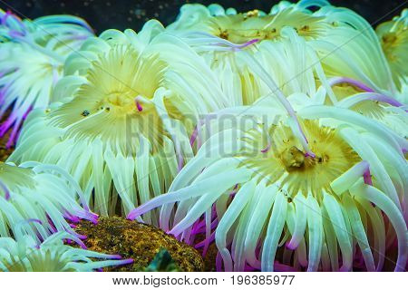 Tiger Anemone Nemanthus annamensis amazing sea creatures underwater. Incredible natural background