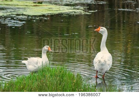 Domestic geese near pond at traditional countryside goose farm