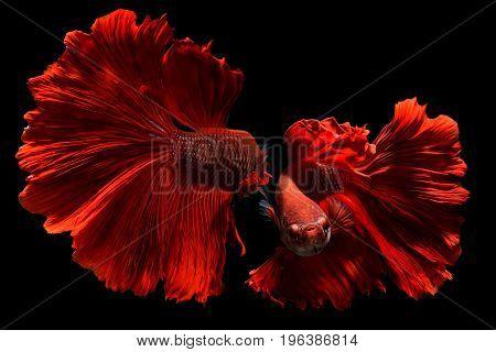 Fancy Red Betta Or Saimese Fighting Fish .