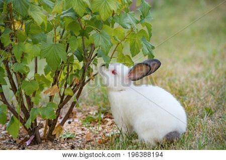 Young little white rabbit tries leaves of currant bush with curiosity