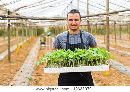 Farmer Planting Young Seedlings Of Cucumber The Vegetable Garden