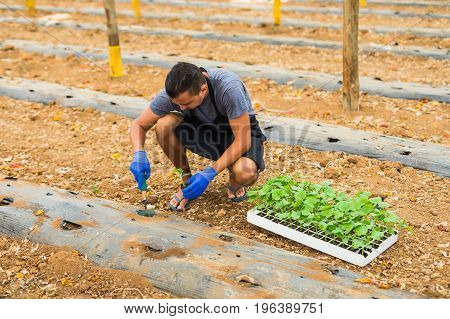 Farmer Planting Young Seedlings Of  Cucumber In The Vegetable Garden