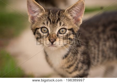 Detail Of Small Kitten Head With Tabby Fur