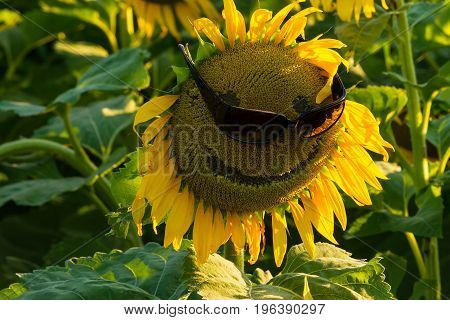 Black oil sunflower in a field planted for bird seed wearing a pair of sunglasses. The sunflower has a happy face on it