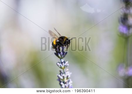 bee on lavender, bumble, flower, garden, honey