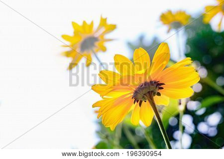 Close view of Arnica flower blossoms. With white background for text