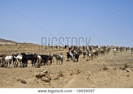 Flock Of Goats Near Arrecife