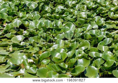 Aquatic plants covering the pond. Green plants pattern background.