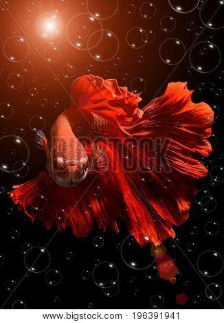Fancy Red  Betta Or Saimese Fighting Fish.