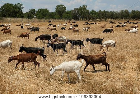 Goats grazing in field near a farm.