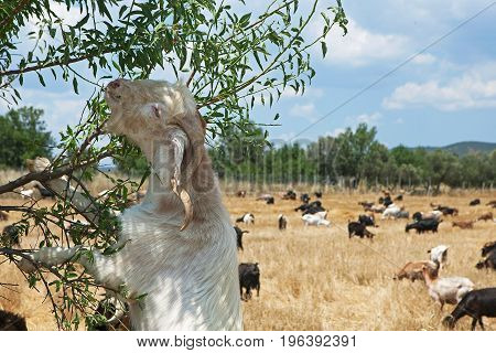 Goat eating green leaves near a farm.