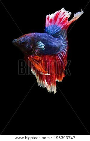 image of betta fish isolated on black background action moving moment of Red Blue Rose Tail Betta Siamese Fighting Fish