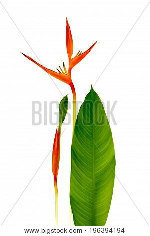 Beautiful Red Yellow And Orange Heliconia (Heliconia Spp.) Flower Isolated On White Background Tropical Vivid Color Flower On White Background Heliconia Or Bird Of Paradise Flower