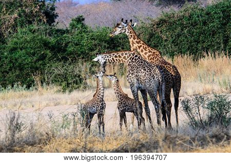Giraffe family with two offspring in tiw