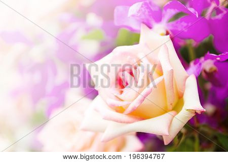 Yellow Rose Flower In The Garden With Bokeh Light Bouquet Of Fresh Spring Yellow Rose And Purple Flowers Bokeh For Background.