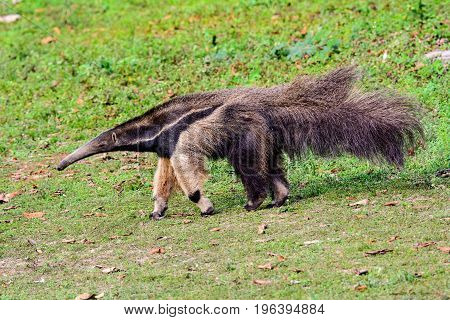 Giant Anteater searching avidly for something to eat