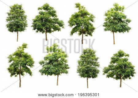 collection of Indian cork tree (Millingtonia hortensis) isolated on white background tropical trees isolated used for design advertising and architecture