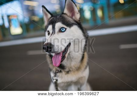 portrait of funny Husky dog with heterochromia different eyes outdoors
