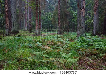 Early autumn morning in the forest with ferns in foreground and dead spruces killed by barkbeetle still standing, Bialowieza Forest,  Poland,  Europe