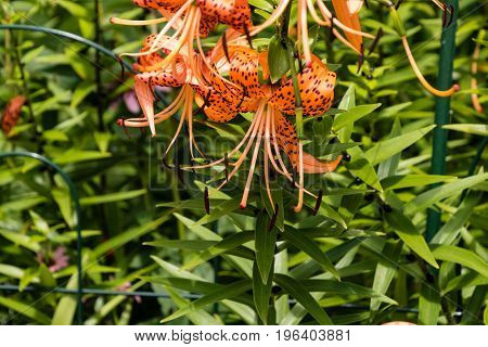 tiger lily blooms point downward which provides some slight protection from the elements usually