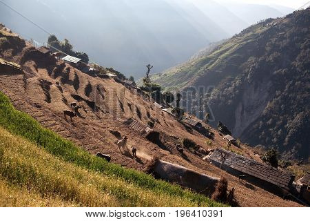 Terraced rice fields in a village of gurungs on Annapurna Circuit Trek in Nepal Himalaya