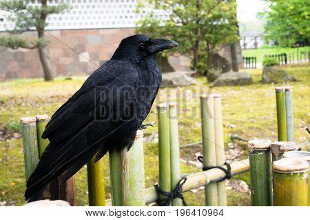 A crow standing on bamboo fence, Kanazawa, Japan.