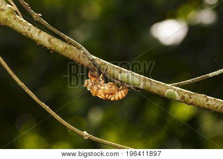 Cicada Shell Hang On Twig