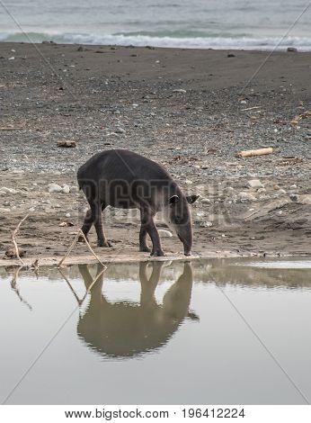 Tapir prepared to take a bath in Corcovado National Park