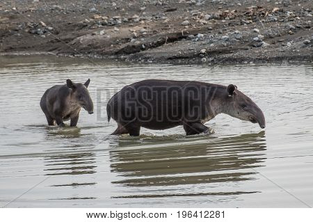 Tapir taking a bath in Corcovado National Park