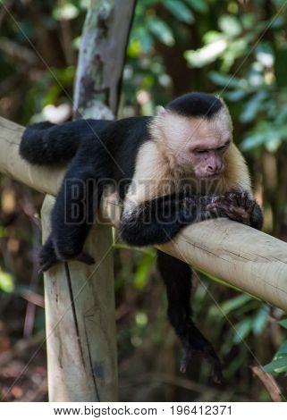 White headed monkey resting in Manuel Antonio National Park