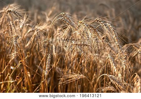 Wheat ripe ears in the morning dew close-up. Background. The horizontal frame.