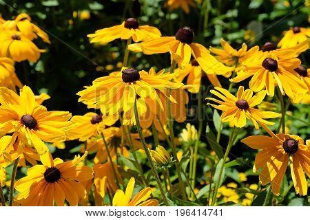 Rudbeckia hirta, commonly called Black Eyed Susan, Mainau Island, Germany, Europe