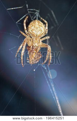 A spider in a hunt a victim in a web.