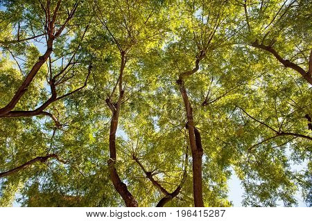Natural background of green foliage and textured black branches of the tree . Bottom view. The horizontal frame.