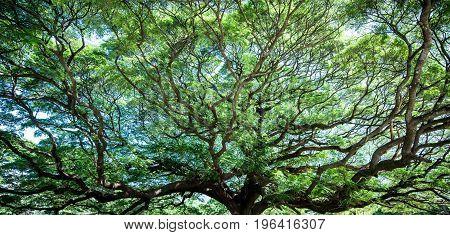 Large Samanea saman tree with branch in Kanchanaburi Thailand