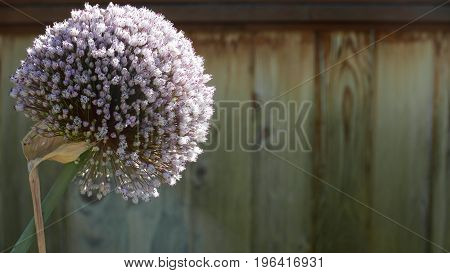 Single purple leek blossom against a brown wood fence with room for copy