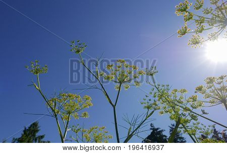 fennel flowers against a clear blue sky with sun rays
