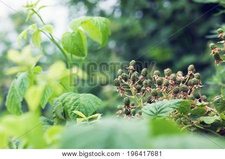 A lot of green blackberries in the garden